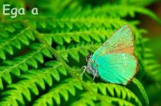 11.1-Mariposa sobre Helecho.