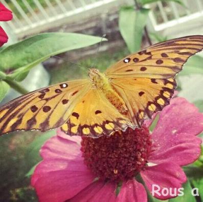 Rousa