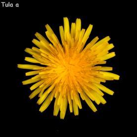 Tulaa