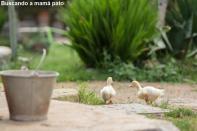 Buscando a mamá pato