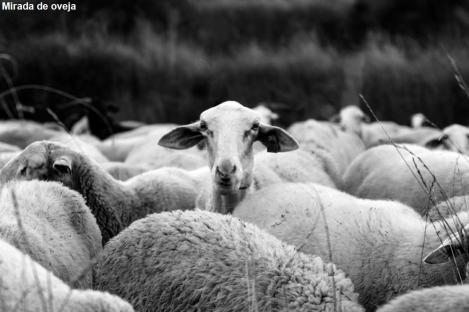Mirada de oveja